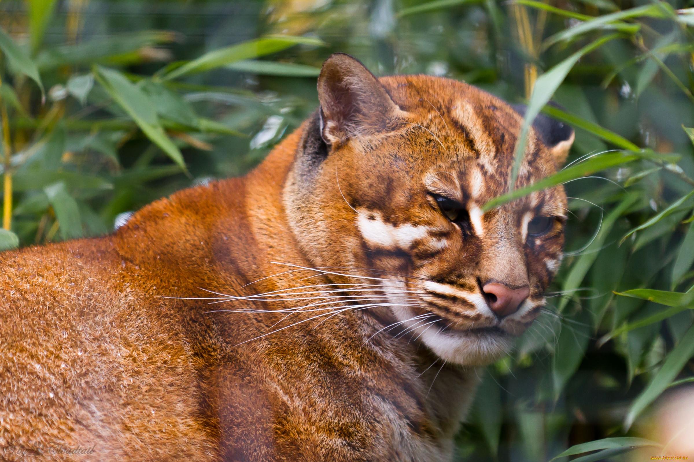 дикие кошки фото и названия в природе привычных символах